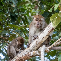 Long-Tail Macaque