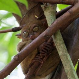 Tarsier sanctuary - Bohol