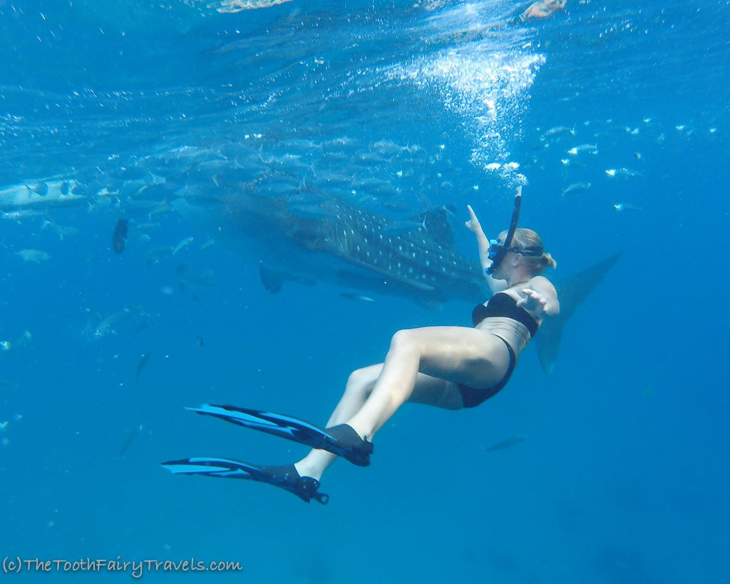 snorkeling with whale-sharks