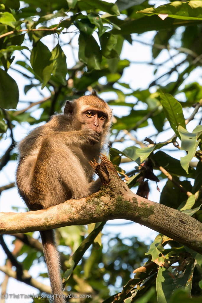 Long-Tail Macaques