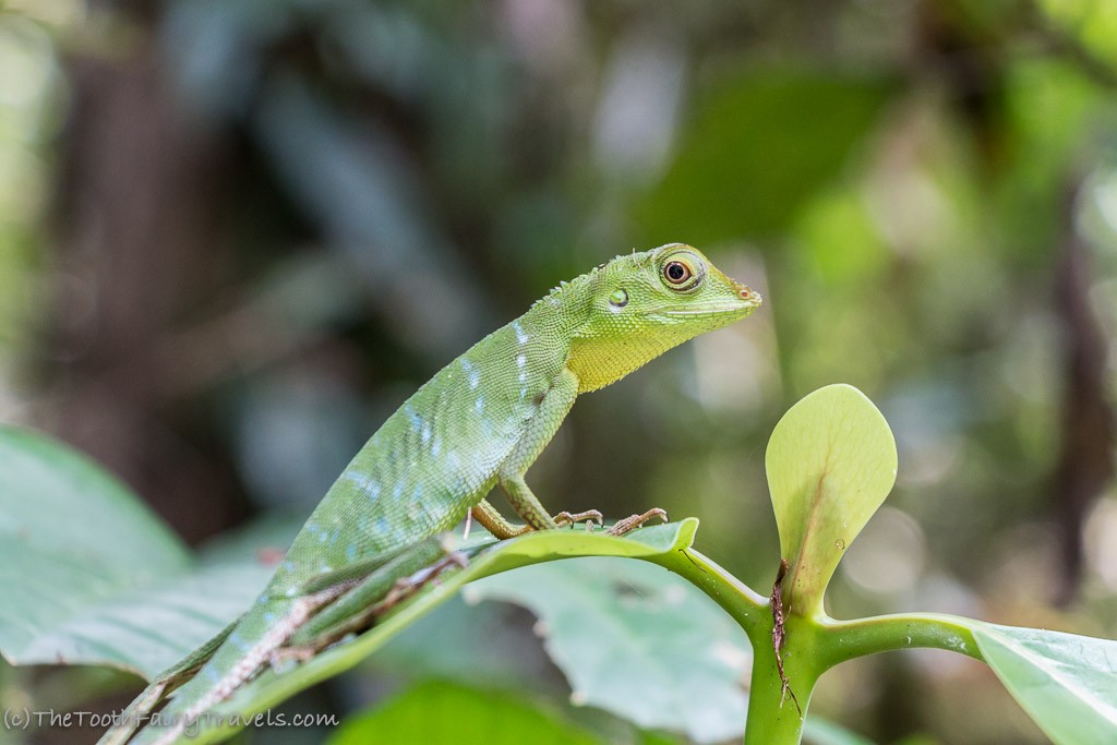 green crusted lizzard