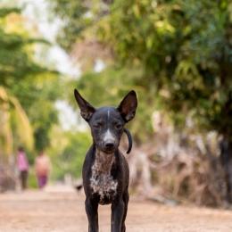 Street dog - Kampong Speu - Cambodia