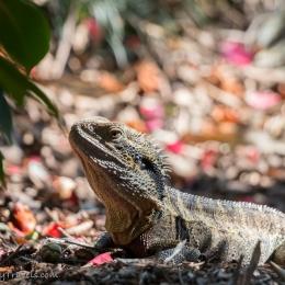 Iguana enjoying the sun